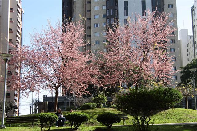 Cerejeiras-do-Japão na praça do Japão. Curitiba, 07/07/2011 Foto: Valdecir Galor/SMCS