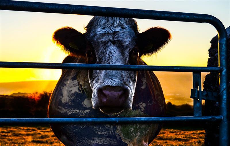 Confira a programação cultural para o fim de semana.  - Na imagem, Cowpiracy Cow. Foto: Divulgação