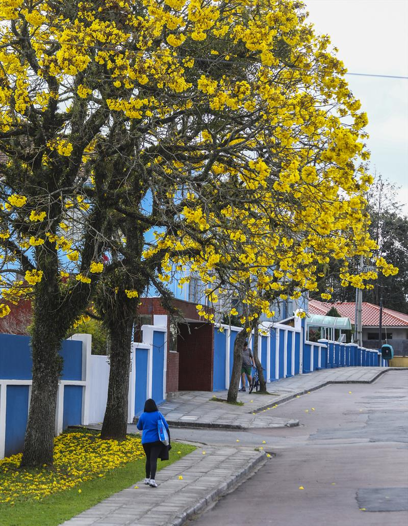 População pode adotar árvores e plantá-las em vias públicas. -Na imagem, Florada dos Ipê amarelo em Curitiba. Na imagem Ipes no bairro Cabral - Curitiba, 01/09/2017 - Foto: Daniel Castellano / SMCS