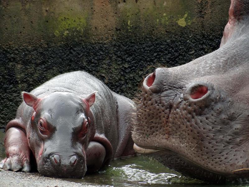 Sábado tem comemoração do aniversário da hipopótamo Glória no Zoo.  - Na imagem, Glória em 2013. Foto: Alexander Biondo