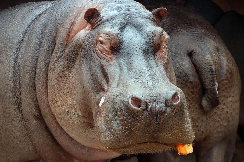 Sábado tem comemoração do aniversário da hipopótamo Glória no Zoo. Foto: Lucilia Guimarães/SMCS