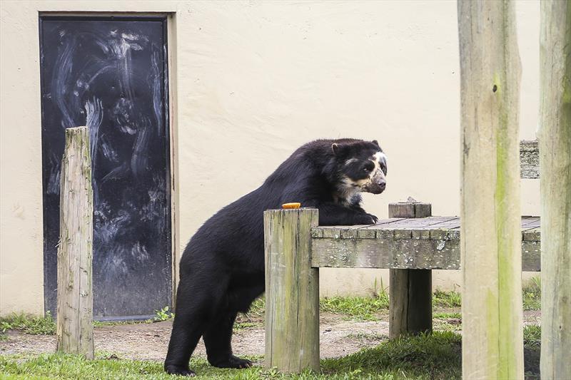 Zoológico de Curitiba se despede do urso-de-óculos Andy. Foto: Luiz Costa/SMCS