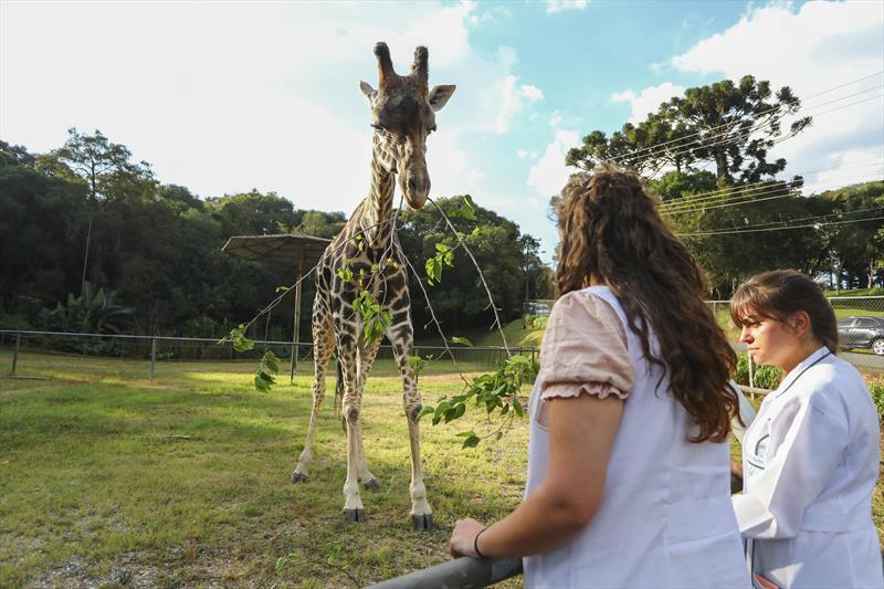 Os 30 anos da girafa Pandinha, o dobro do que vive um animal da mesma espécie na natureza, não vão passar em branco no Zoológico de Curitiba, no Alto Boqueirão. Foto: Daniel Castellano / SMCS