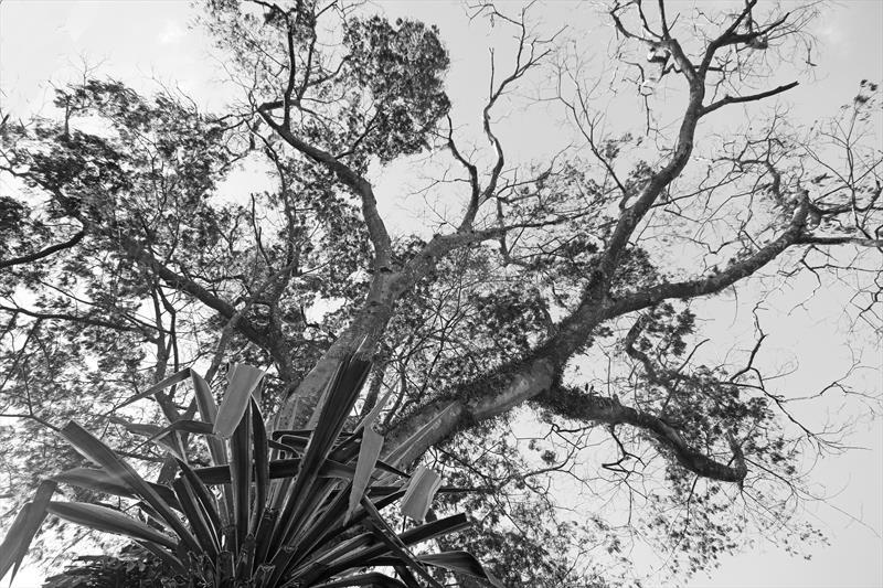anadenanthera colubrina. Monjoleiro. Rua Manoel Ribas,228. Foto Lucilia Guimarães/SMCS
