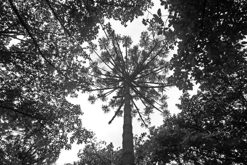 Araucaria columnaris Hook.                  Araucária.Praça Tiradentes. Curitiba, 08/06/2019. Foto: Lucilia Guimarães/SMCS