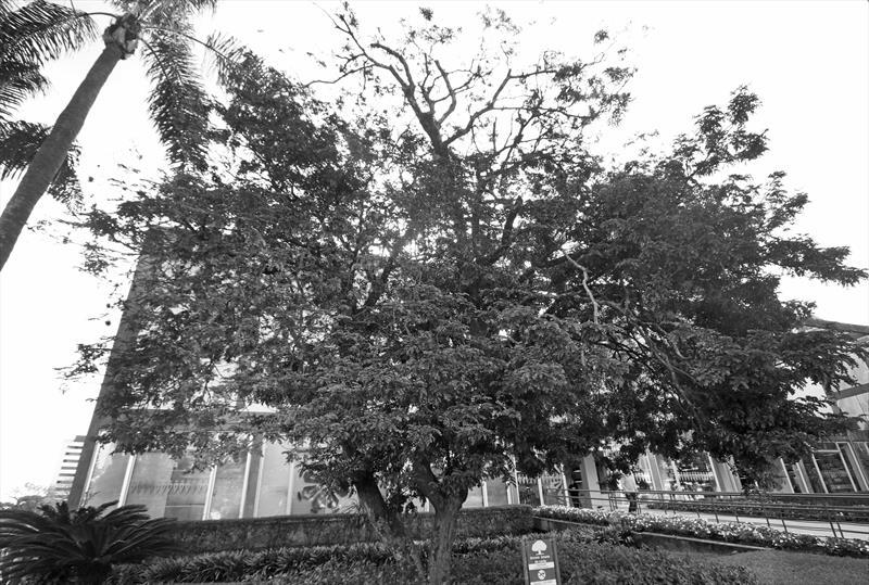 caesalpinia echinata. Pau Brasil.Prefeito Municipal de Curitiba. Curitiba11/06/2019. Foto Lucilia Guimarães/SMCS