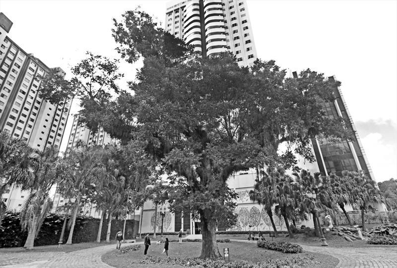 Carya illinoensis (Wangenh.) K. Koch        Nogueira. Praça Didi  Caillet. Curitiba 07/06/2019. Foto: Lucilia GUimarães/SMCS