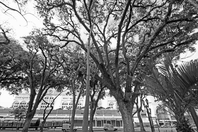 cedrela fissilis. Cedro-rosa. Praça Eufrásio Correa.Curitiba 09/06/2019. Foto: Lucilia GUimarães/SMCS