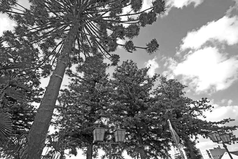Cunninghamia lanceolata. Pinheiro Chinês. Rua Carlos Cavalcanti 815.Curitiba, 08/06/2019. Foto: Lucilia Guimarães/SMCS