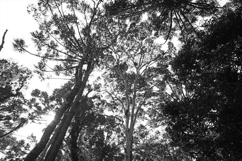Myrcianthes gigantea, Araça Gigante. Bosque Boa Vista. Foto: Lucilia Guimarães