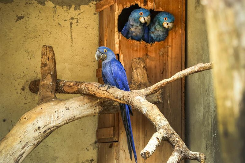 O quarto filhote de arara-azul a nascer no Zoológico do Alto Boqueirão ainda está sob os cuidados dos pais, em um recinto fora de exposição no parque. Foto: Luiz Costa/SMCS