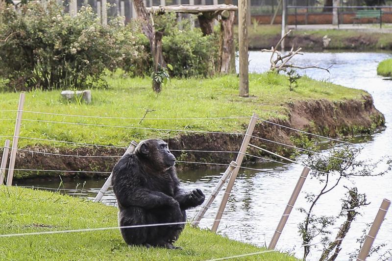 O Zoológico de Curitiba adere à iniciativa do Dia Mundial do Chimpanzé (World Chimpanzee Day), com o objetivo de sensibilizar as pessoas sobre a importância de garantir a conservação da espécie e garantir o seu bem-estar.   Na imagem, o chimpanzé Bob, no Zoológico. Foto: Pedro Ribas/SMCS