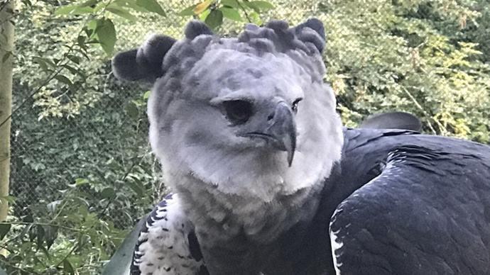 Zoo de Curitiba dá boas-vindas a harpia vinda do Mato Grosso. Foto: Divulgação