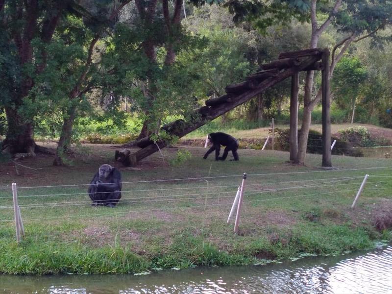 Chimpanzé Bob, do Zoo de Curitiba, ganha um amigo para a quarentena. Foto: Divulgação