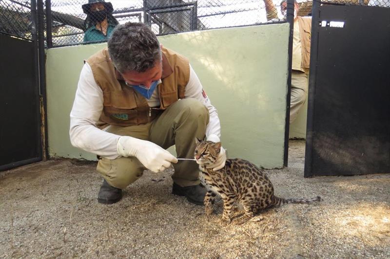 Zoo participa de pesquisa sobre covid-19 em felinos selvagens. Foto: Divulgação