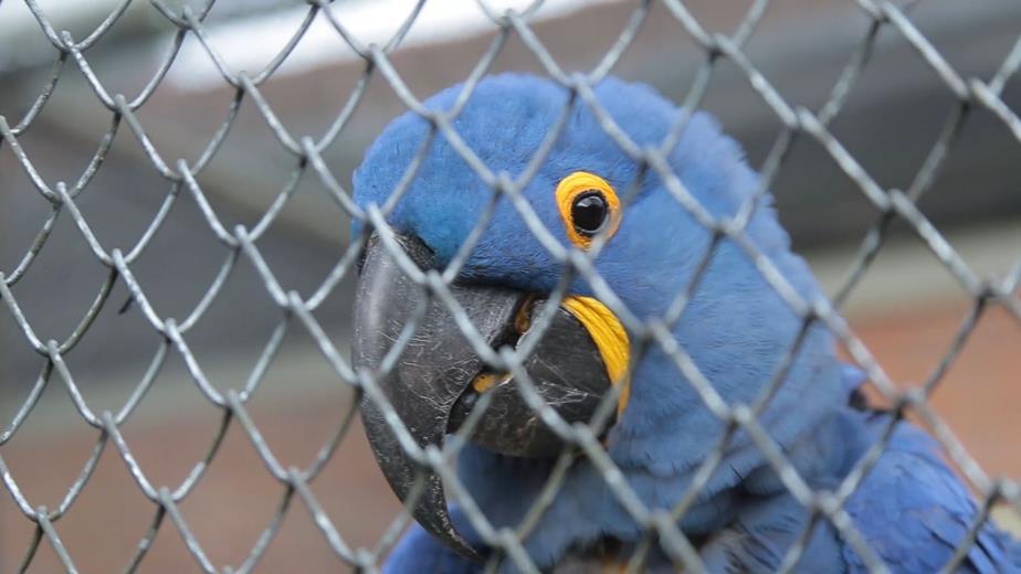 Arara-azul nasce no Zoológico de Curitiba